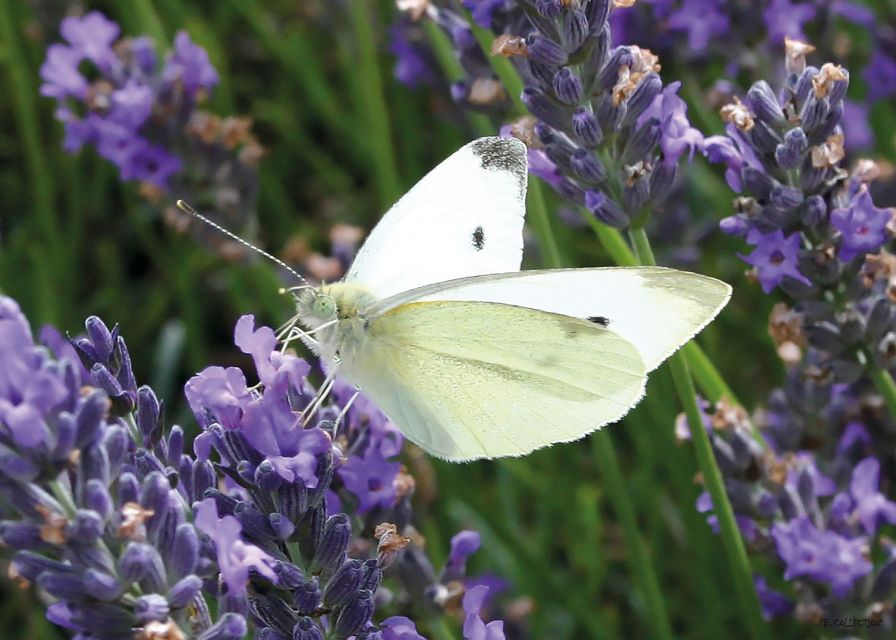 Tuinschilderij Cabbage White on Lavender