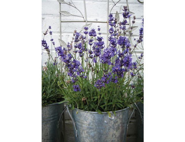 Tuinschilderij Lavender in Pot