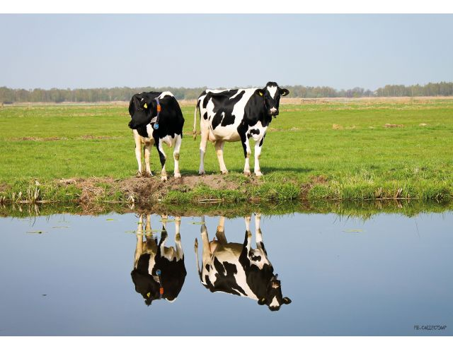 Tuinschilderij Cows with reflection